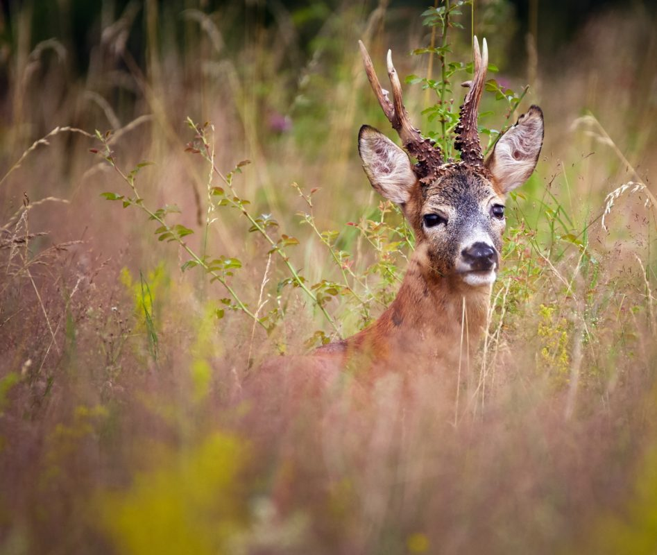 Portrait of a beautiful roebuck in a grass field