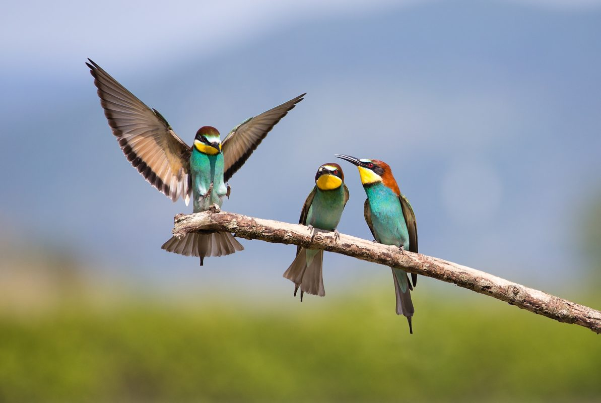 Fight of two male Bee-eater (Merops apiaster) - Bird Male fight for Female, Beautiful Tropical Bird, Isola della Cona, Monfalcone, Italy