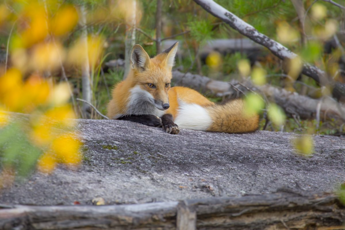 Nice Red Fox on a Rock in Upper Minnesota on the Gunflint trail.  Autumn.  High Quality photo and can be cropped.