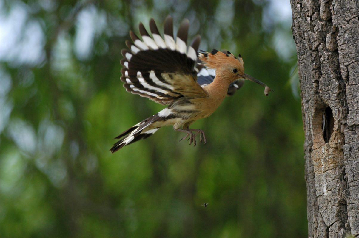 Hoopoe in flight to the nest.
