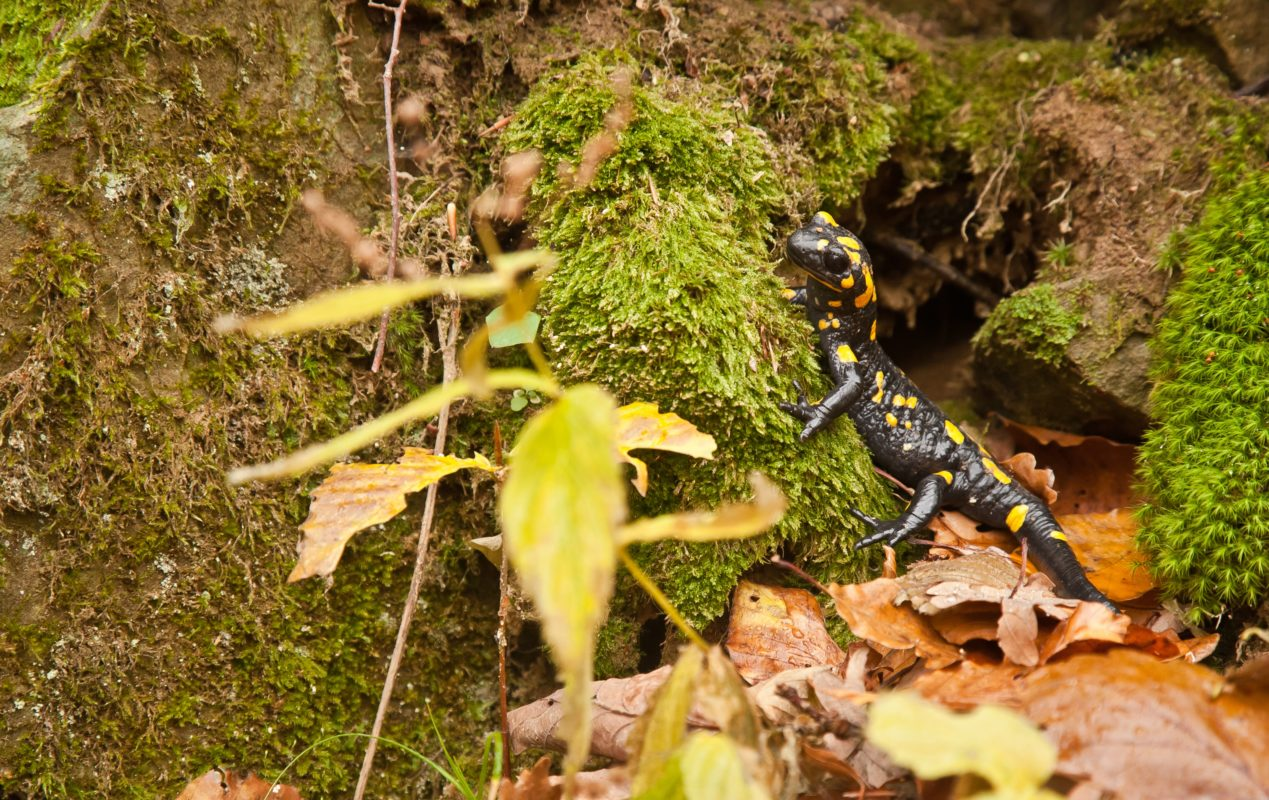 salamander close up on forest ground with moss on rainy day in autumn
