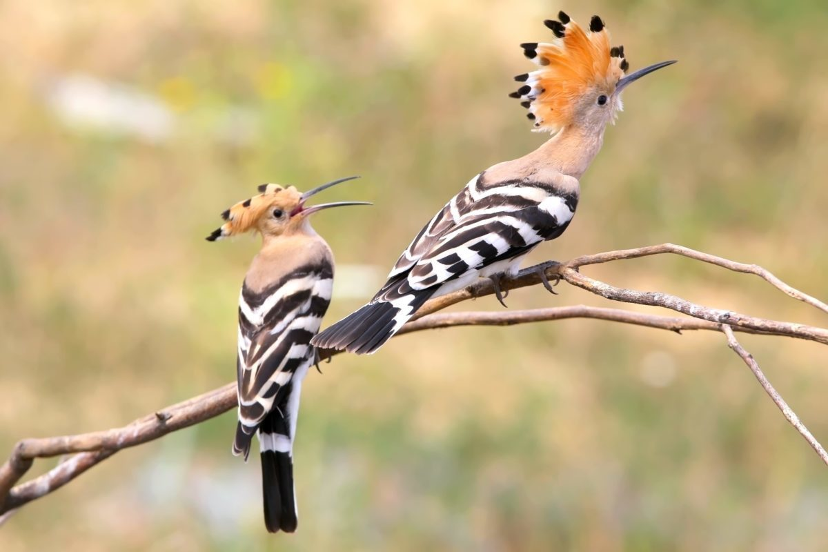 Two  hoopoe sitting on special branch and faightin for place.Photographed in soft morning light. Unusual perspective photo.