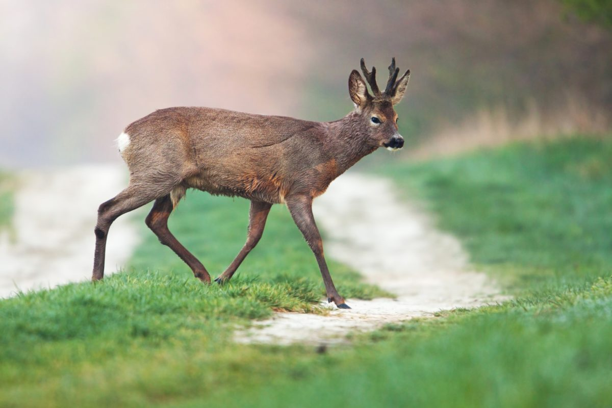 Young roe deer buck in spring, crossing a road, winter fur, antlers covered in bast