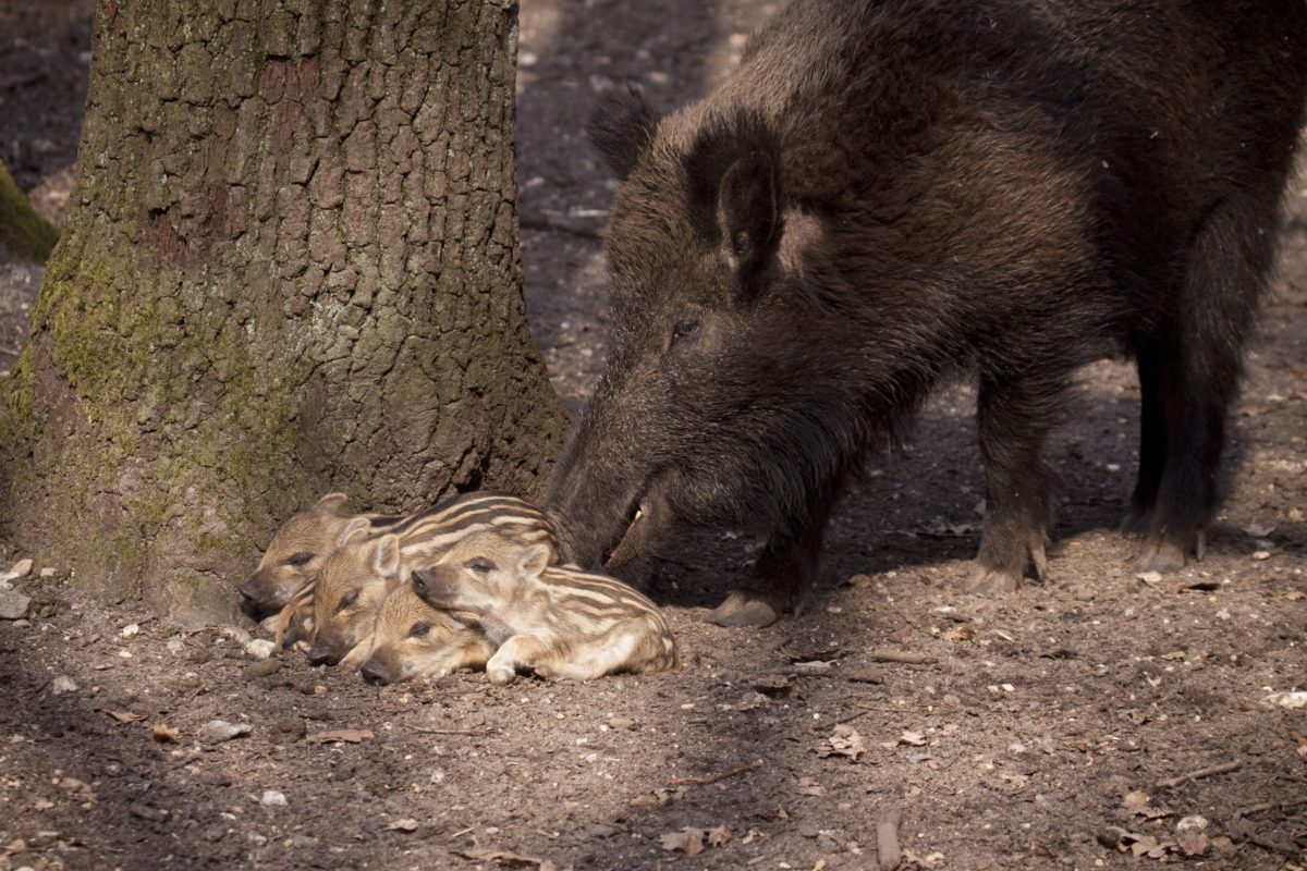 Wild Boar with newborn piglets
