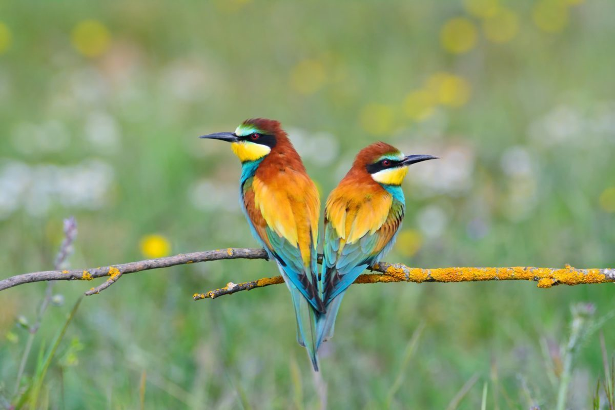 Close-up of colorful bright bee-eaters on tree branch in sunlight