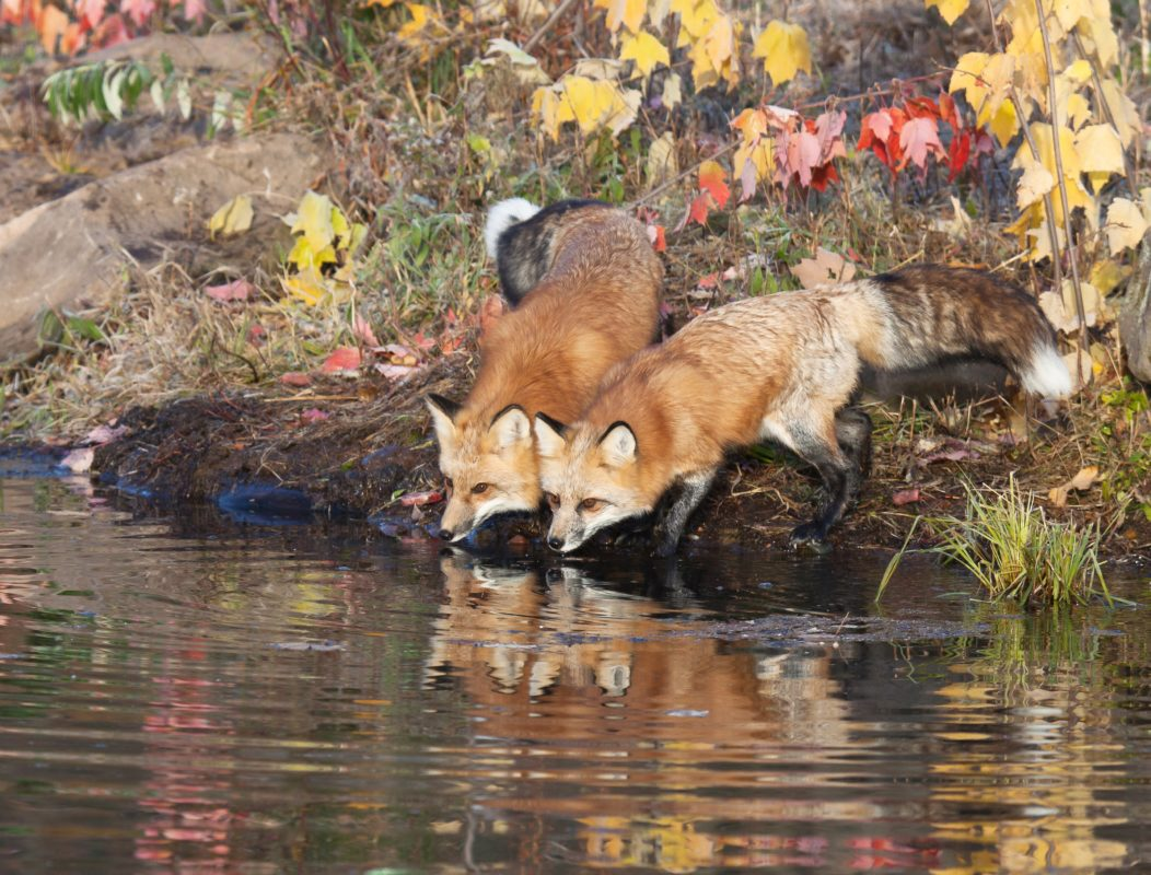 Pair of red fox drinking from a pond.  Reflections seen in the water.  Autumn in Minnesota.